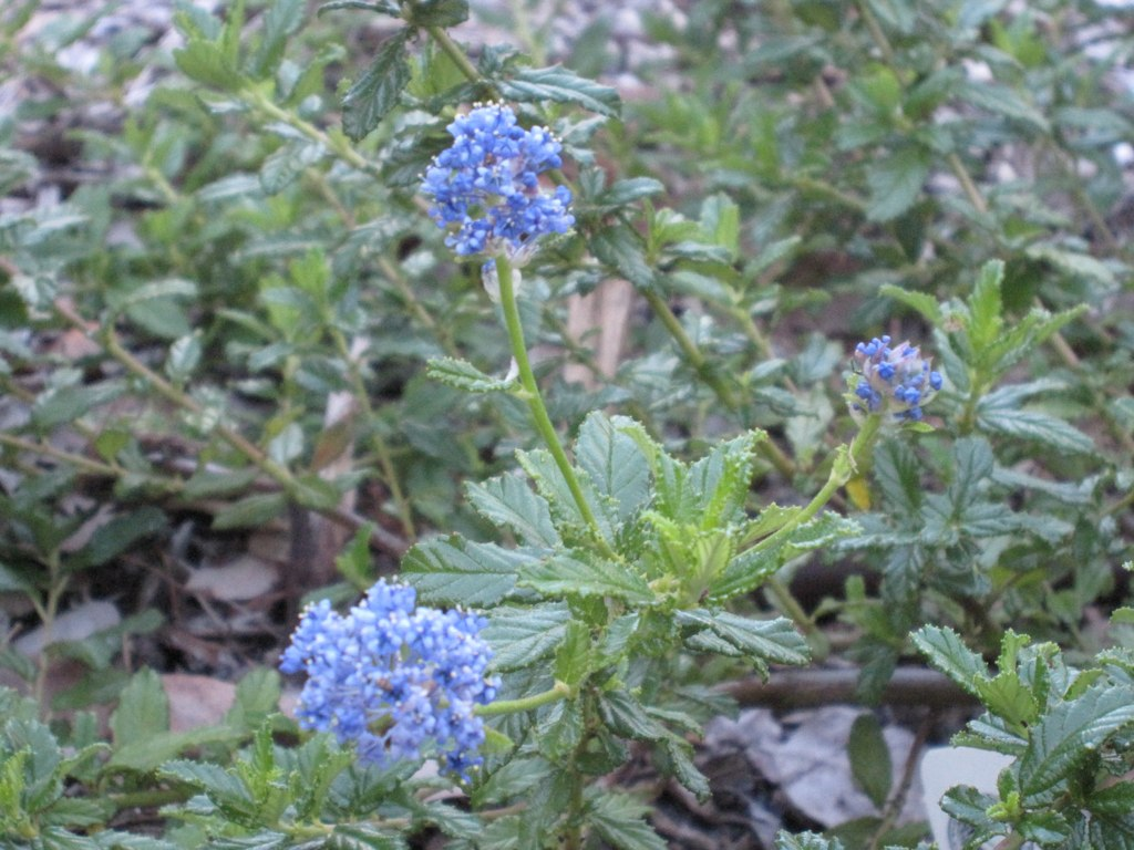 Ceanothus 'Joyce Coulter', Creeping Mountain Lilac